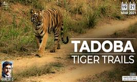 TADOBA TIGER TRAILS